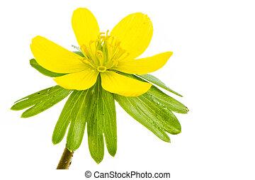 flor, aconite, inverno, amarela, isolado