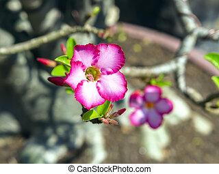 flor, adenium