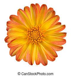 flor, aislado, amarillo, pétalos, naranja, dalia
