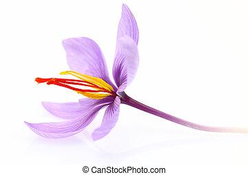 flor, aislado, azafrán, arriba, plano de fondo, cierre,...