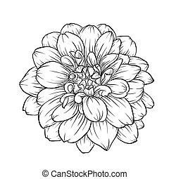 flor, aislado, fondo., negro, dalia, blanco