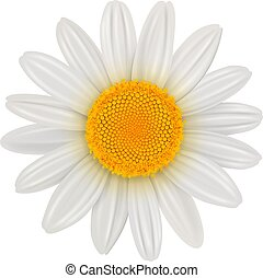 flor, aislado, margarita