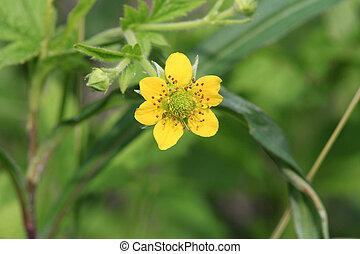 flor, amarela, avens