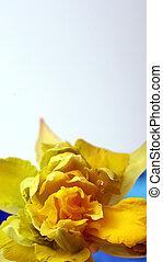flor, amarela, caule