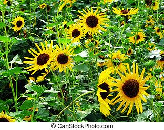 flor, amarela, girassol