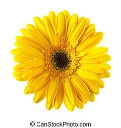 flor, amarela, isolado, margarida