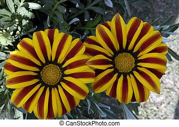 flor, amarela, margarida