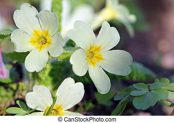 flor, amarela, primula