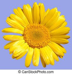 flor, amarillo, margarita