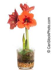 flor, amaryllis, aislado, múltiplo, rojo blanco, flores