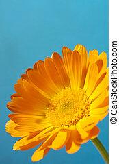 flor anaranjada, margarita