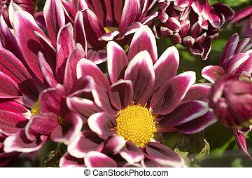 flor, aster
