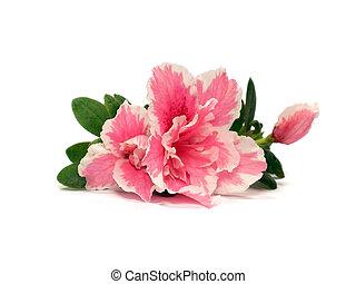 flor, azalea
