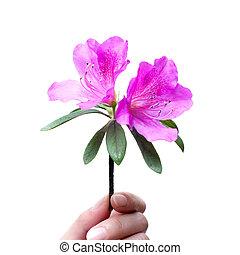 flor, azalea, tenencia, aislado