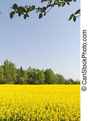 flor azul, campo céu, semente, cloudless, violação