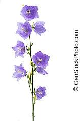 flor azul, sino