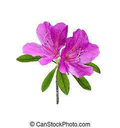 flor blanca, aislado, azalea