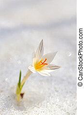 flor blanca, azafrán