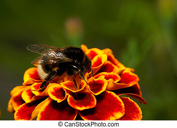 flor, bumble bee