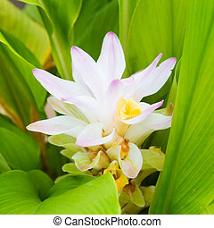 flor, cúrcuma