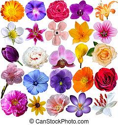 flor, cabezas, aislado, blanco