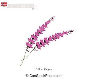 flor, calluna, púrpura, vulgaris, noruega, nativo