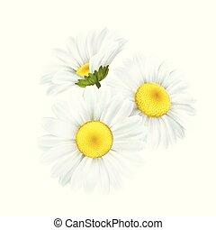 flor, camomila, aislado, ilustración, fondo., vector, margarita, blanco