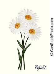 flor, camomila, flor, aislado, ilustración, fondo., margarita, blanco