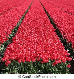 flor, campo, tulipanes, primavera, tulipán, Florecer, flores, rojo