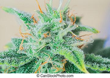 flor, cannabis, marijuana, sobre, strain), isolado, detalhe, visível, experiência preta, cabelos, folhas, (mangolope
