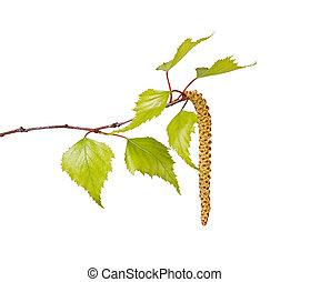 flor, catkin, hojas, aislado, abedul, blanco