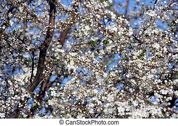 flor, cereja, abstratos, -, árvore, preparar, fundo, sobre, céu
