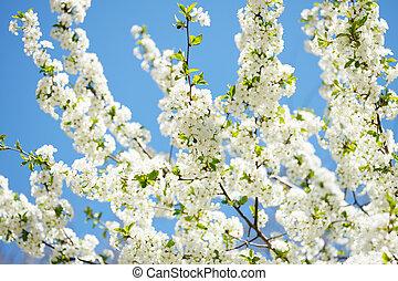 flor, cereja, dia ensolarado, primavera
