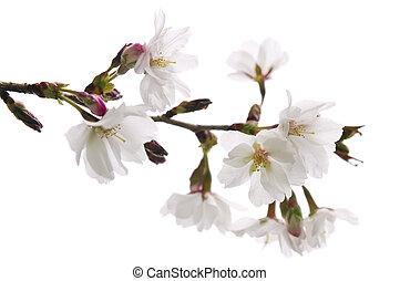flor, cereja, oriental