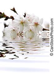 flor, cereza, agua