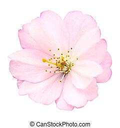 flor, cereza, blanco, aislado