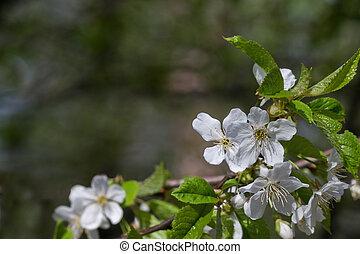 flor, cereza, plano de fondo
