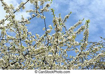 flor, cereza, primavera