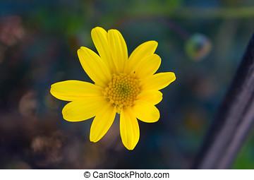 flor, chilena, amarilla