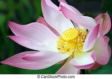flor, closeup, loto