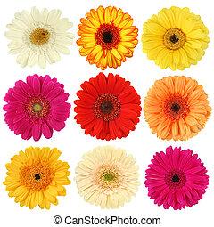 flor, colección, margarita