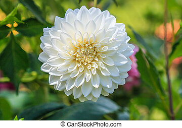 flor, colorido, textura, plano de fondo, dalia, blanco
