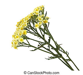 flor, común, milenrama