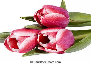flor cor-de-rosa, buquet, primavera, isolado, experiência., tulips, branca