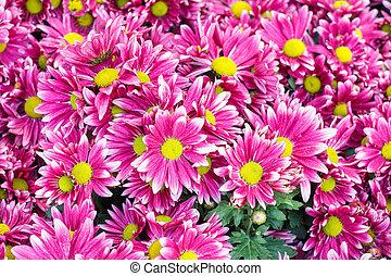 flor cor-de-rosa, centro, &, longo, pétalas, amarela, magra