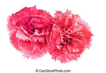 flor cor-de-rosa, dianthus, janeiro, cravo, caryophyllus, flores
