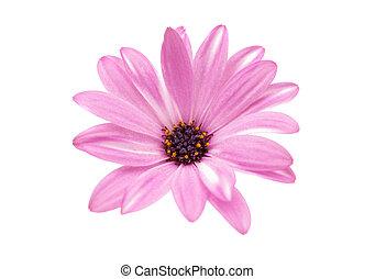 flor cor-de-rosa, isolado, margarida