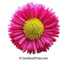 flor cor-de-rosa, isolado, white., margarida, fresco