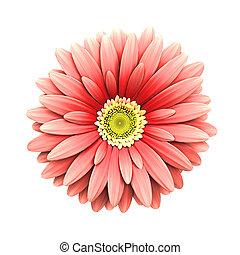 flor cor-de-rosa, render, -, isolado, margarida, 3d
