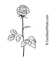 flor cor-de-rosa, rosa, isolado, fundo, branca